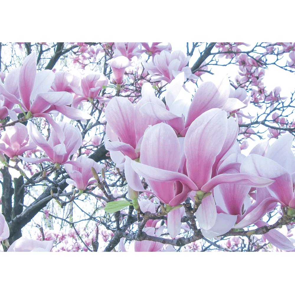 Fototapet duplex Magnolii, 368 x 254 cm imagine MatHaus.ro